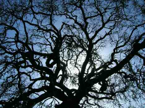 oak-tree-silhouette-branches